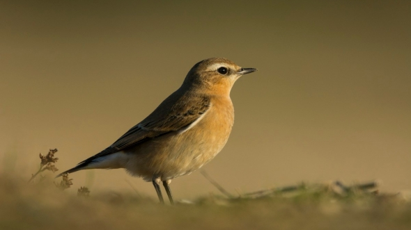 Traquet motteux (Oenanthe oenanthe - Northern Wheatear)